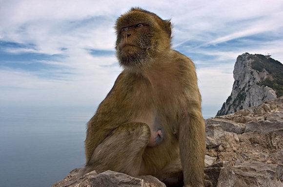Mono en Gibraltar, Reino Unido