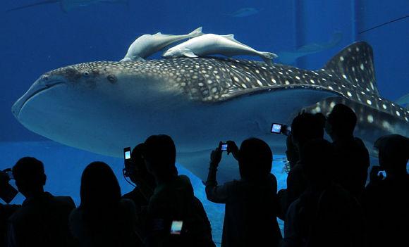 El acuario Churaumi de Okinawa en Japón es el segundo más grande del mundo
