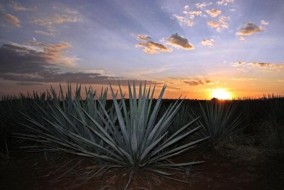 Fotografía de un agave, la planta de donde se elabora el Mezcal, tomada en un atardecer
