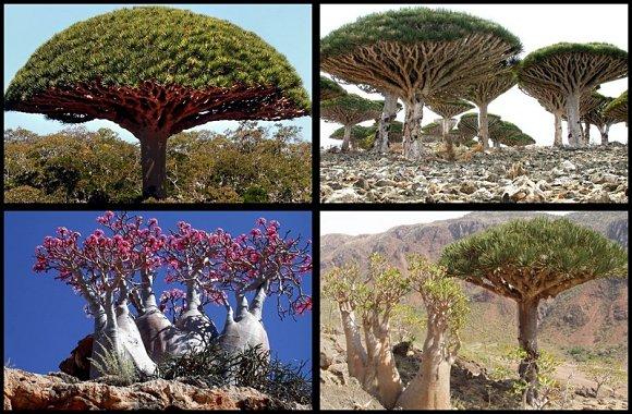 La diversidad en la vegetación del archipiélago de Socotra es muy grande