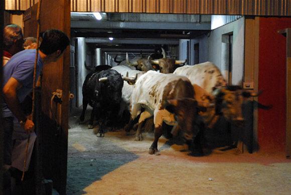 Salida de los toros y cabestros de los corralillos del gas en el encierrillo de los Sanfermines