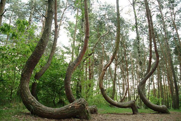 Árboles torcidos Polonia