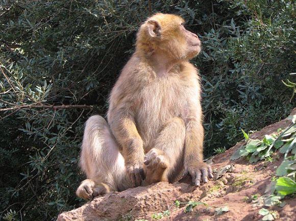 Una gran atracción de Ouzoud son también los inquietos monos que habitan en la zona
