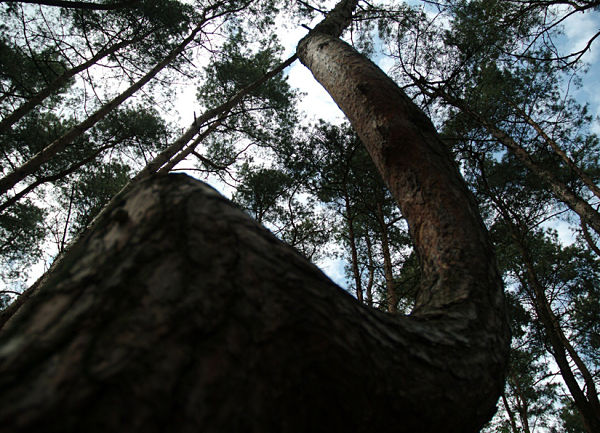 Árboles torcido Polonia