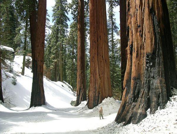 Parque Nacional Yosemite secuoyas