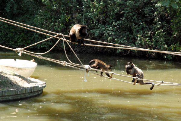 Zoo de Madrid Monos Capuchinos