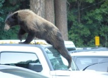 yosemite oso coche