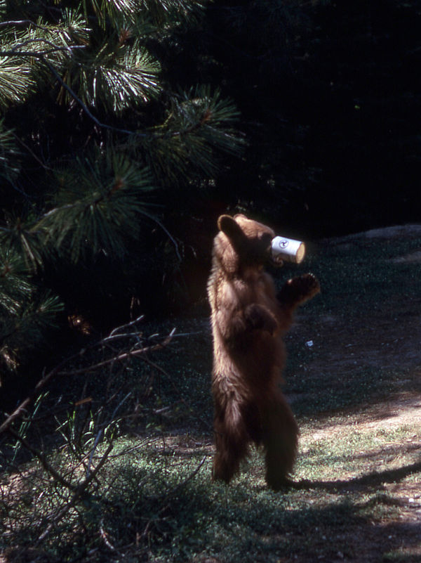 yosemite oso lata
