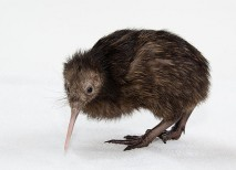 kiwi nueva zelanda animales