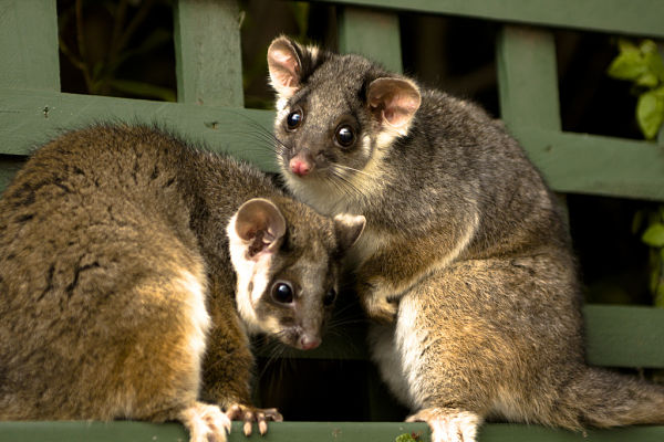 animales nueva zelanda possum