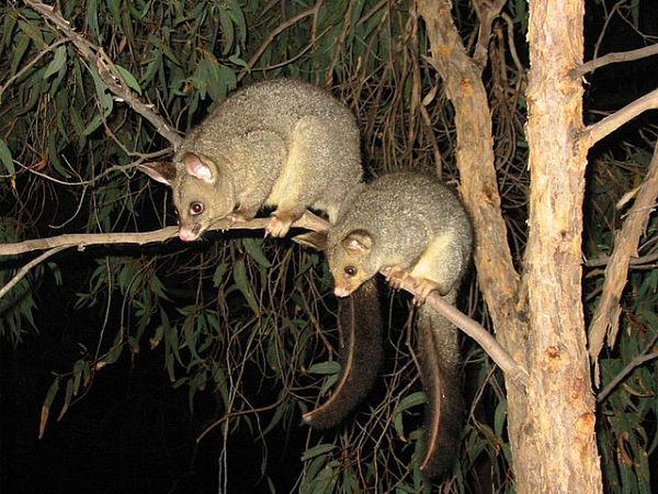 animales nueva zelanda posuum pareja