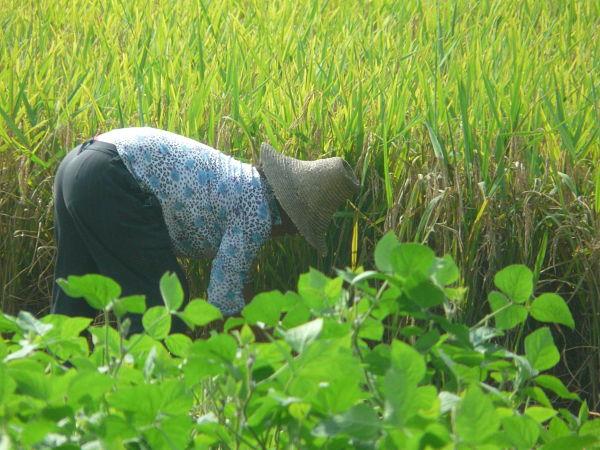 arroz china guilin