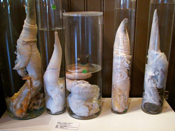 Varios ejemplares de pene de ballena expuestos en la faloteca nacional ...