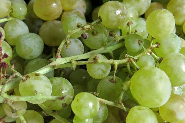 tradiciones fin de año uvas España