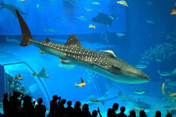 Un tiburón ballena nadando en el acuario Churaumi de Okinawa