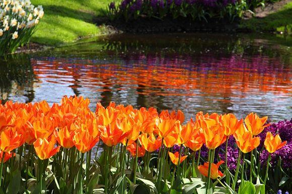 Sus lagos e interminables avenidas de tulipanes, hacen del Keukenhof el jardín floral más grande del mundo