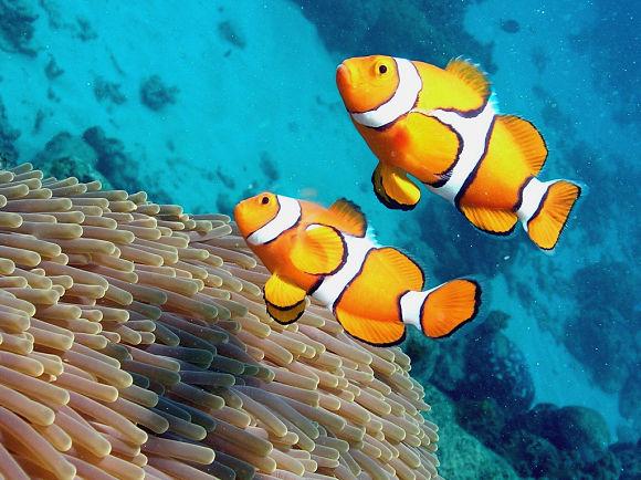 En la Gran Barrera de Coral habitan más de 1.500 especies de peces