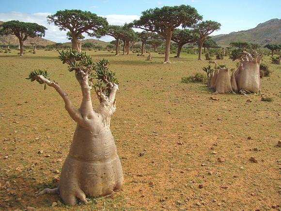 Baobabs, la vegetación en el archipiélago de Socotra es única