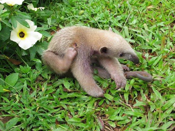 Un oso hormiguero se refugia en la tranquilidad del río Caño Cristales