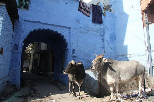 vacas sagradas Jodhpur India