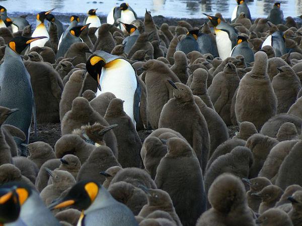Los pingüinos campan a sus anchas en las recónditas islas Kerguelen