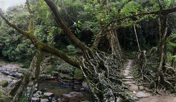 La humedad y el ingenio hacen que los árboles de caucho en la India sirvan para crear puentes