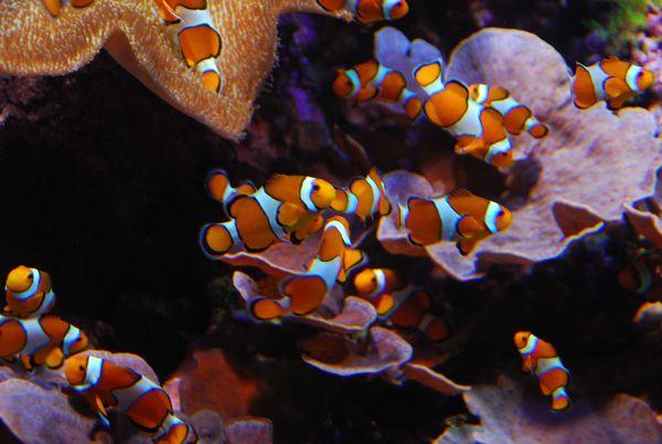 Aquarium San Sebastian Pez Payaso