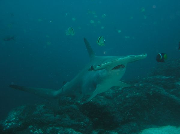 Isla del Coco Tiburon Martillo