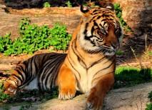zoo barcelona tigre