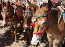 santorini burros