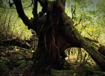 bosque Yakushima japon