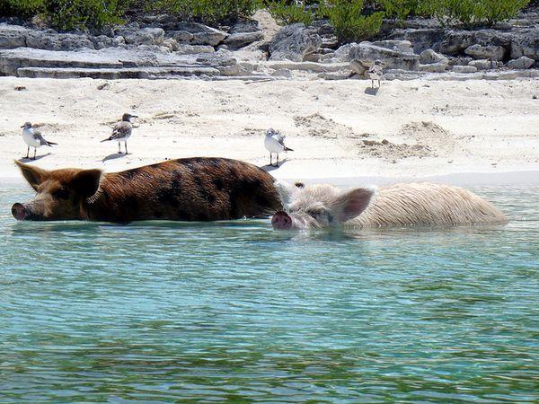 cerdos bañandonse