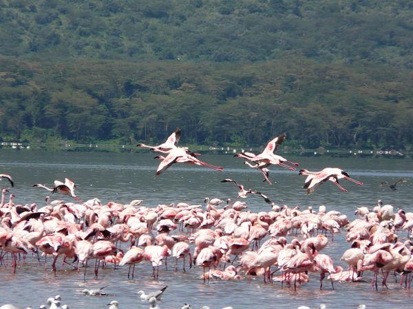 lago nakuru flamencos